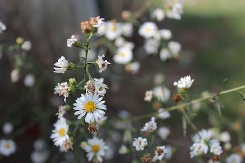 Free stock photo of daisy