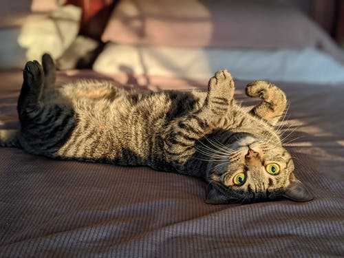 Gray Tabby Cat Lying on Brown Textile