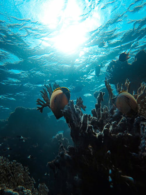 Ilmainen kuvapankkikuva tunnisteilla akvaario, kala, koralli, korallit