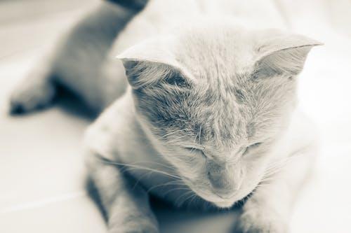 Ảnh lưu trữ miễn phí về Chân dung, chụp ảnh đơn sắc, chụp ảnh động vật, con mèo