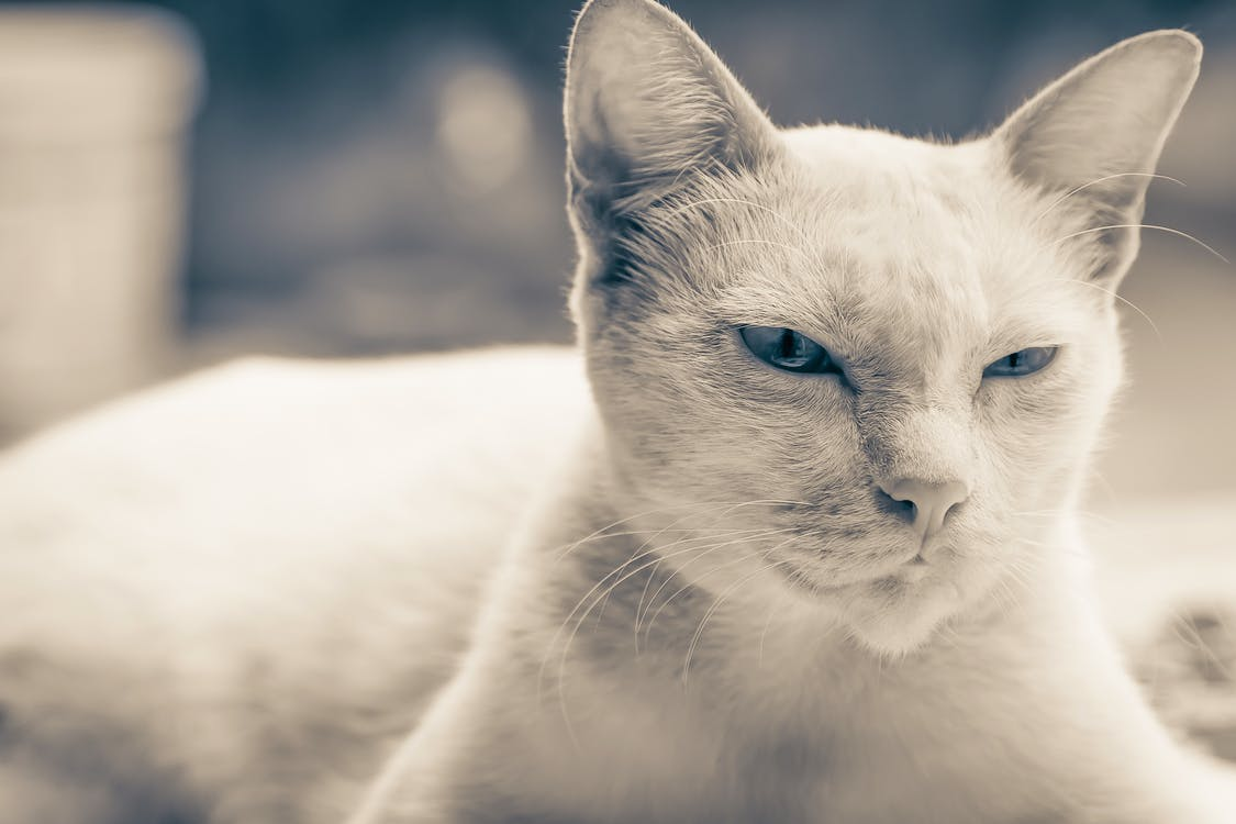Selective Focus Photo of Short-fur Cat