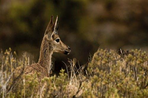 在綠色草地上的棕色鹿