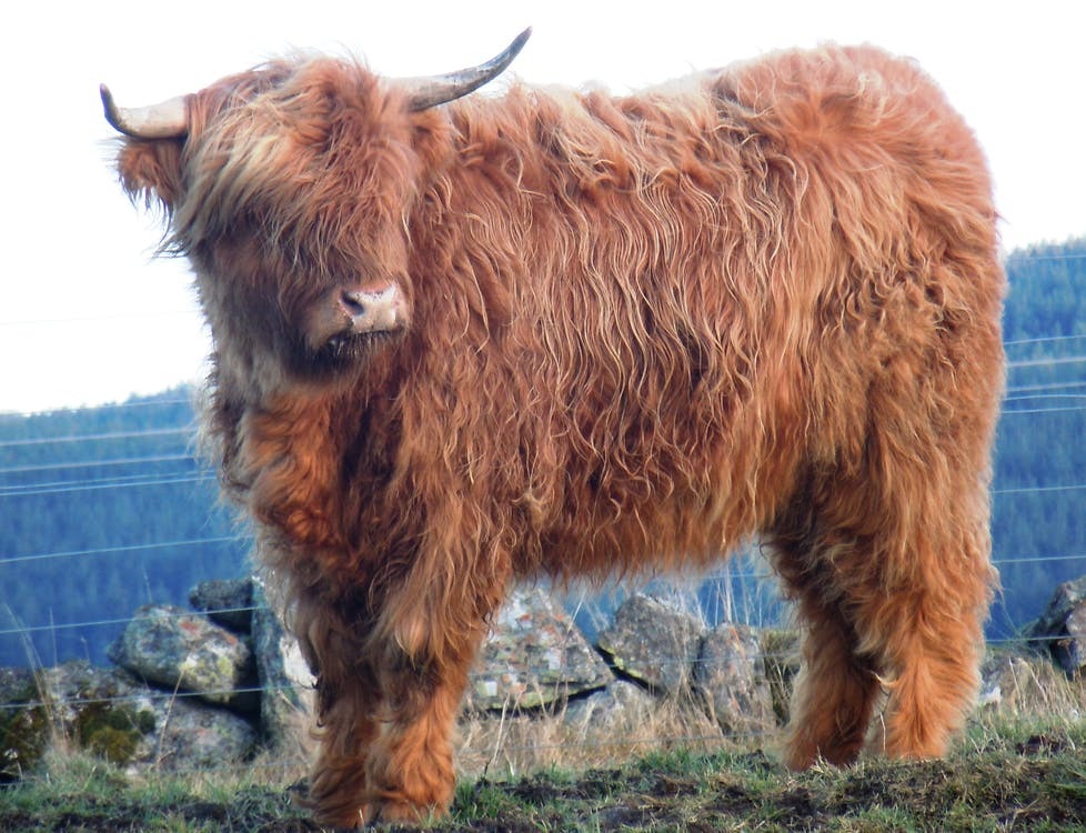 Free stock photo of highland cattle