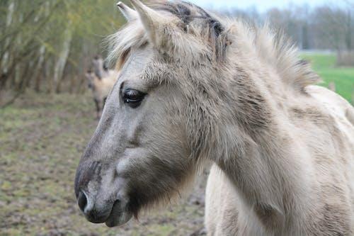 Free stock photo of head, horse, konik horse, mane