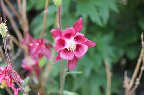 Free stock photo of beauty, flower, fuchsia, hot pink