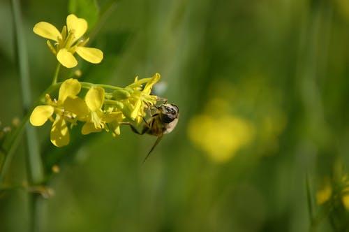 Foto d'estoc gratuïta de abella, abellot, flor, planta