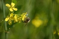 plant, flower, bee