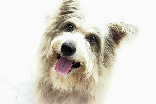 Free stock photo of dog, pet, terrier