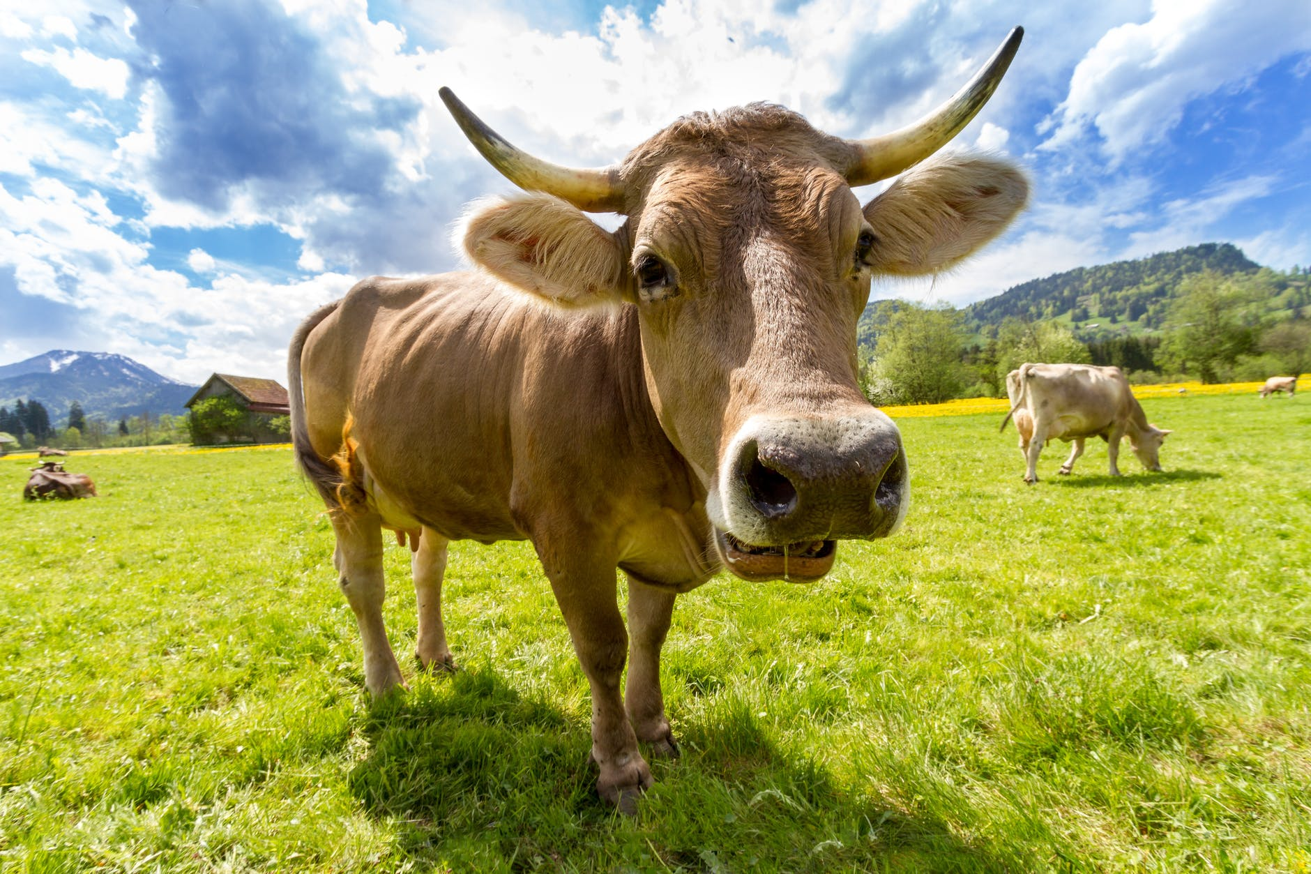 A cow produces 200 times more gas a day than a person.