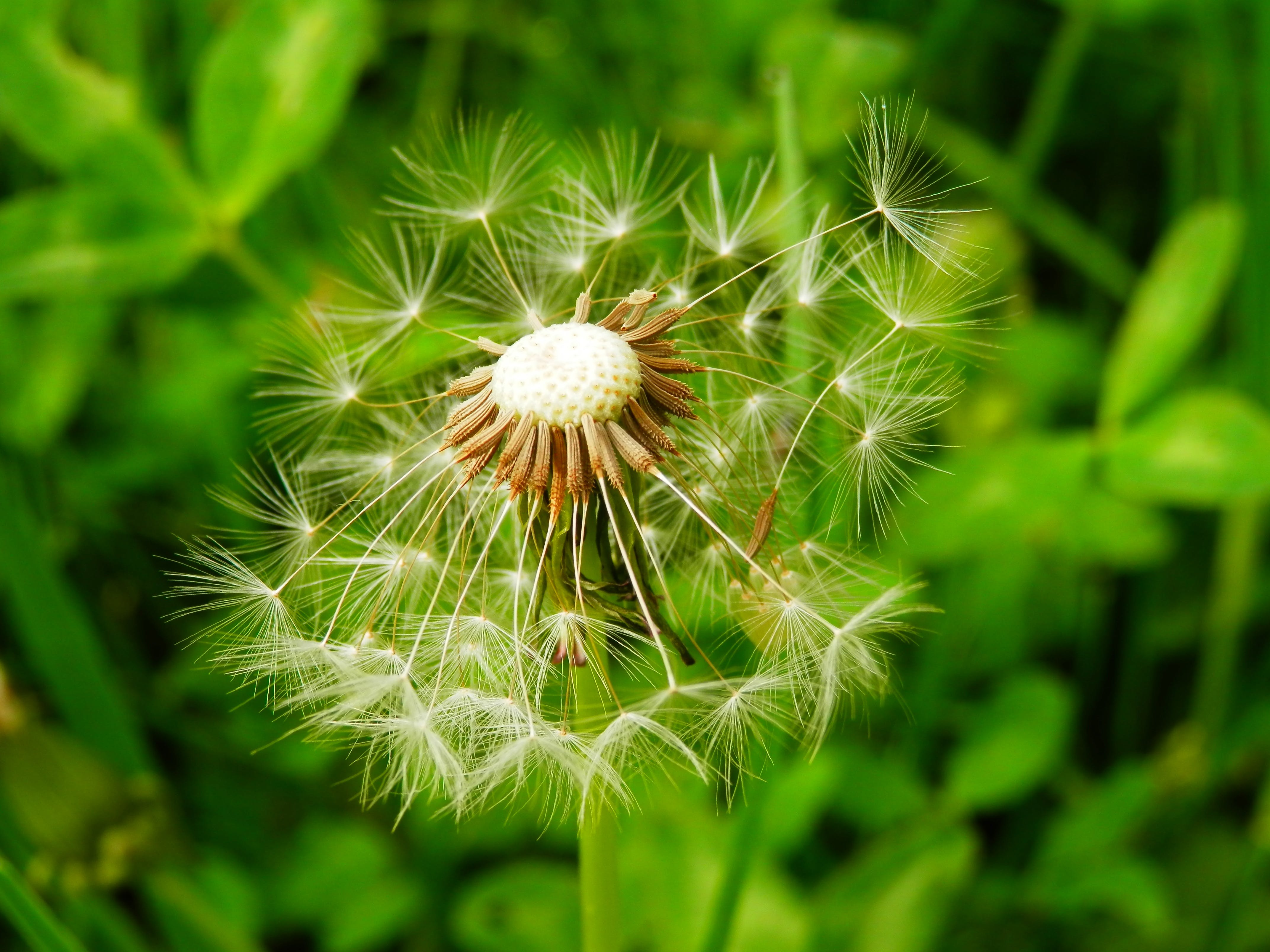 Free stock photo of nature, meadow, plant, dandelion