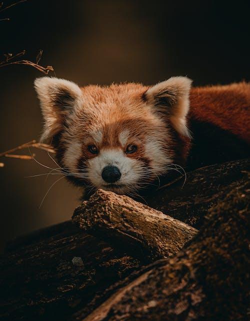 Fotobanka sbezplatnými fotkami na tému divé zviera, divočina, líška hrdzavá, ZOO