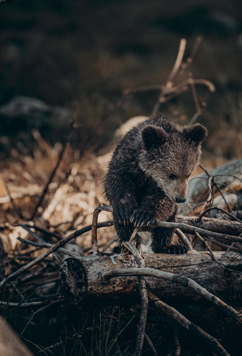 Baby Bear on the Woods