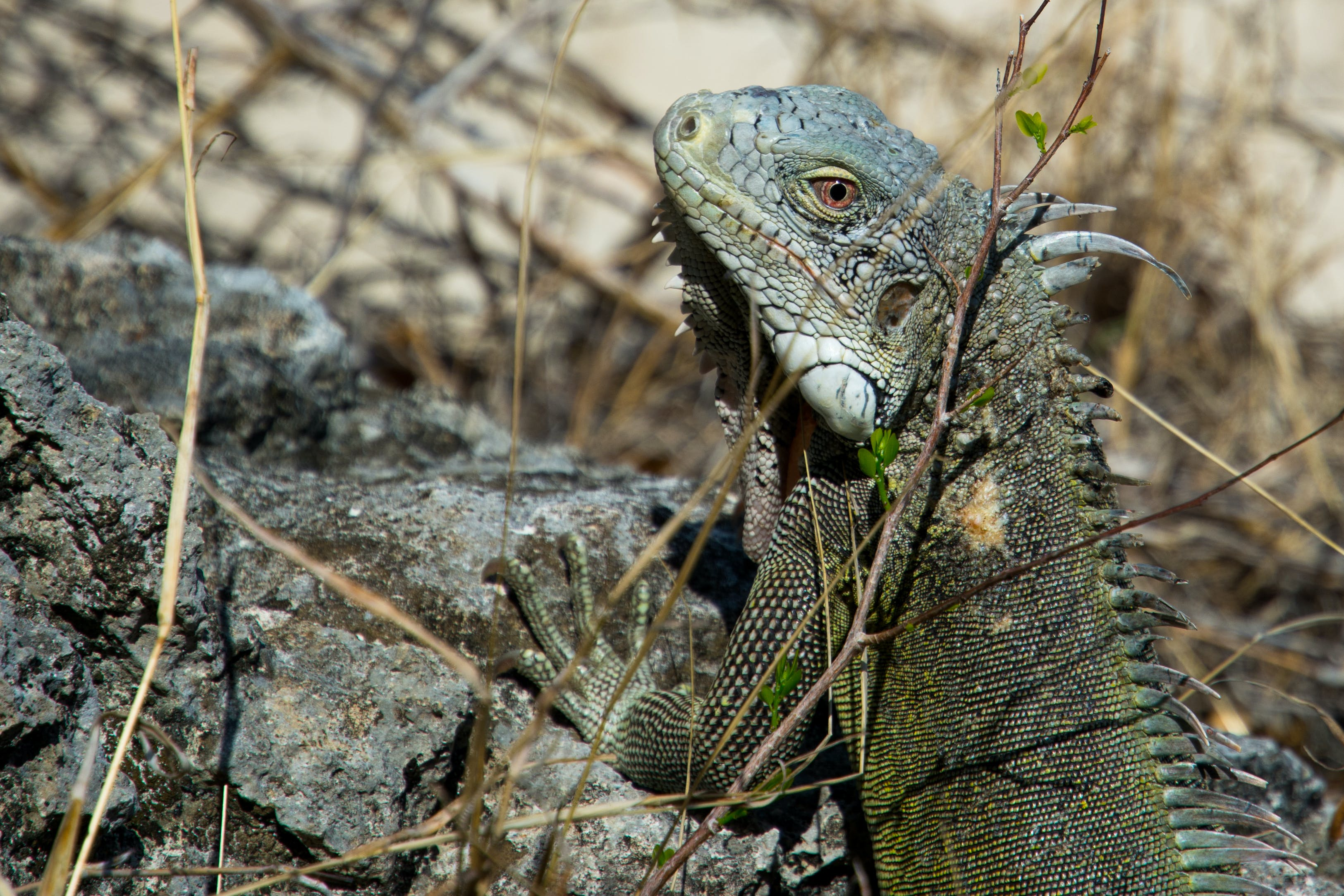 Closeup Photography of Green Iguana on Gray Rock