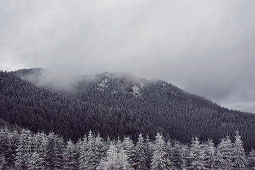 Gray scale Photo of Green Pine Trees Covered With Snow