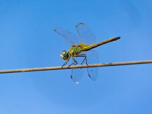 Free stock photo of animal, dragonfly, fauna