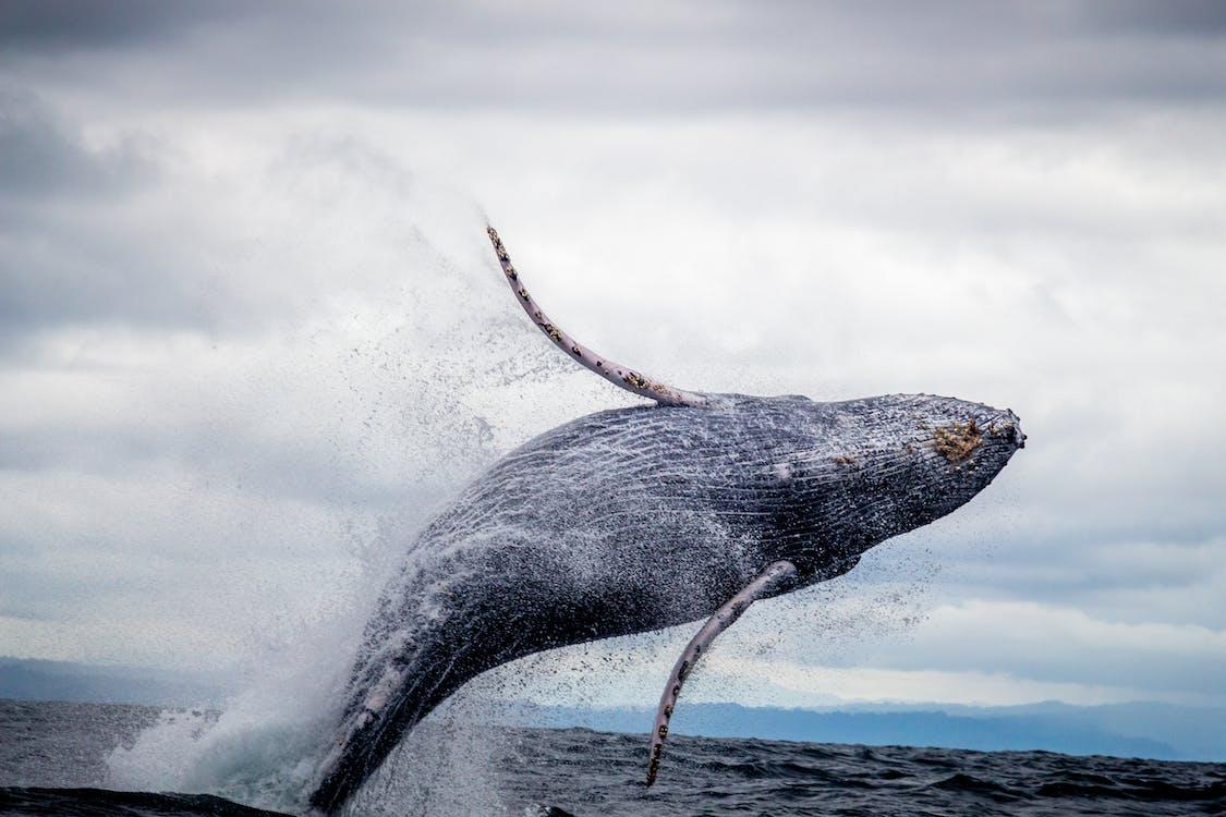Photos gratuites de animal aquatique, animal marin, baleine