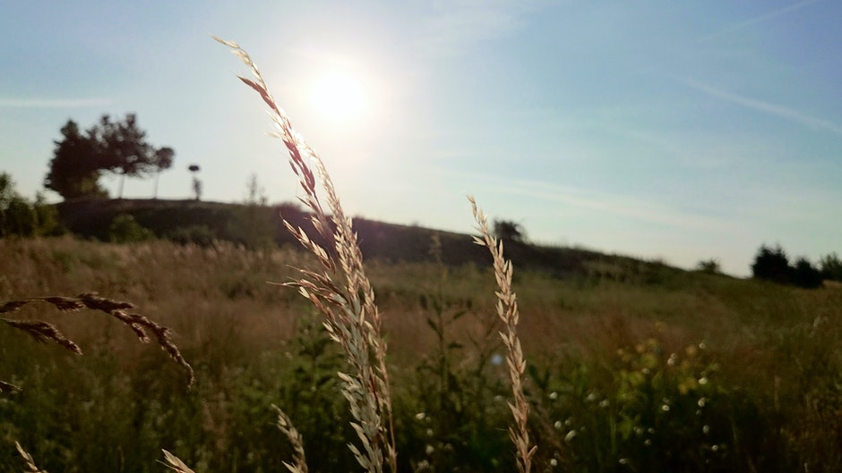 cereals, field, nature