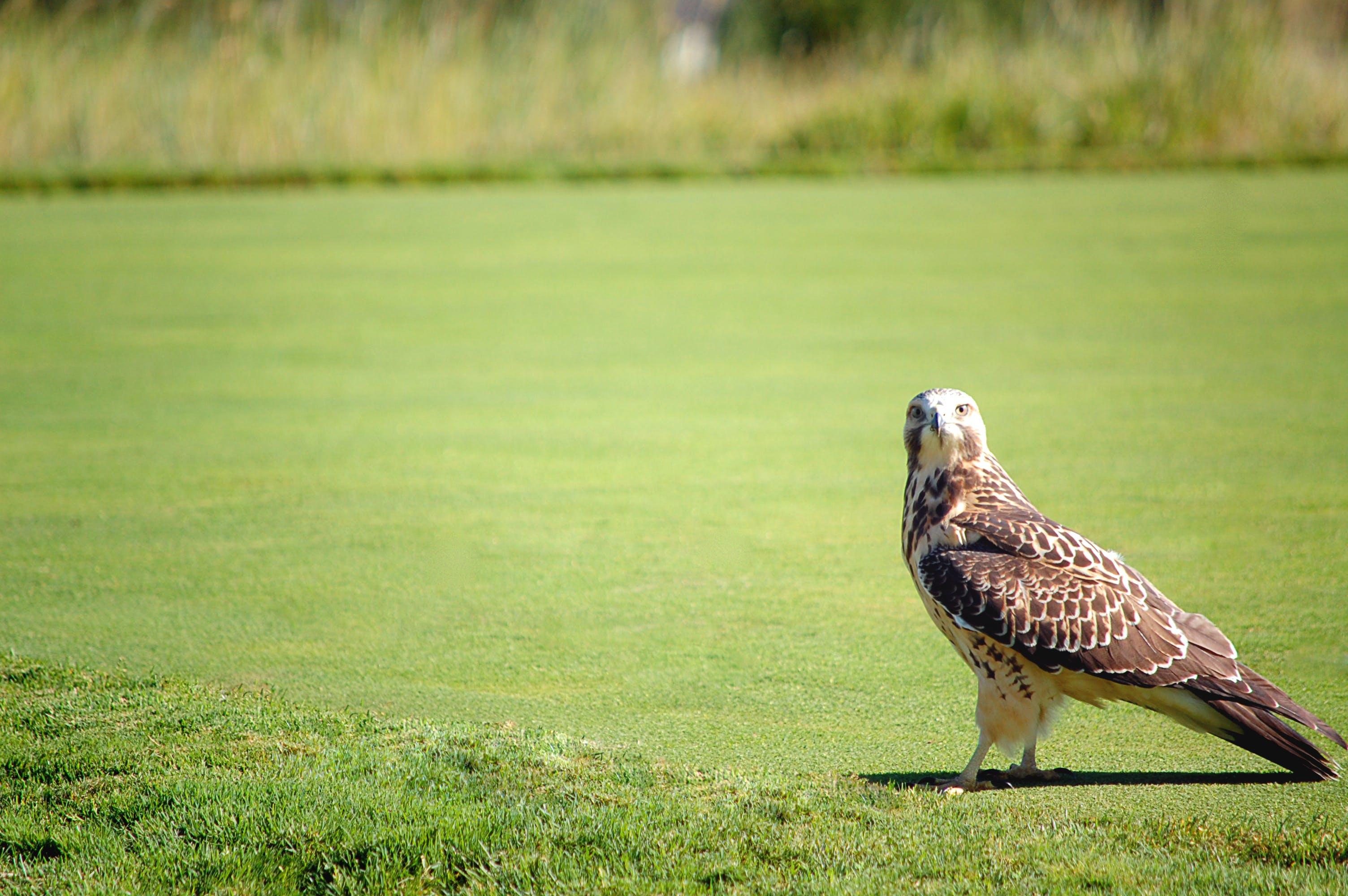 Kostenloses Stock Foto zu falke, gras, natur, raubvogel
