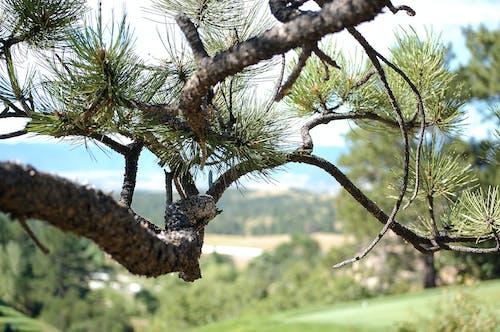 Základová fotografie zdarma na téma borovice, příroda, strom