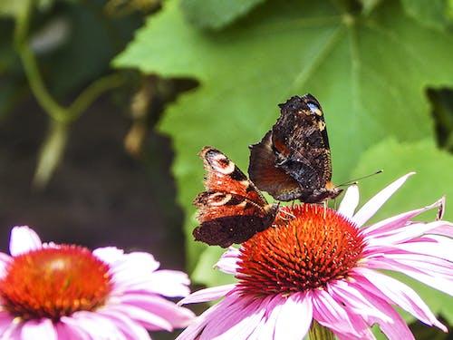 Základová fotografie zdarma na téma květiny, motýli, příroda, Slovensko