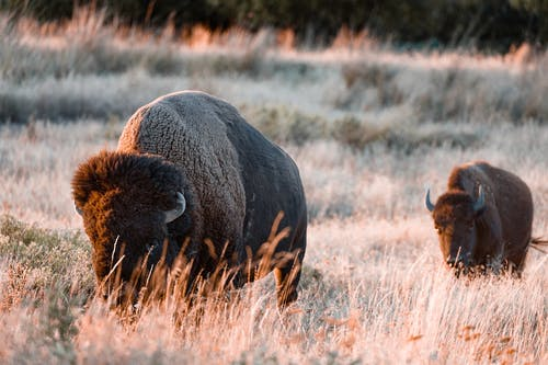 Brown Bison on Brown Grass Field