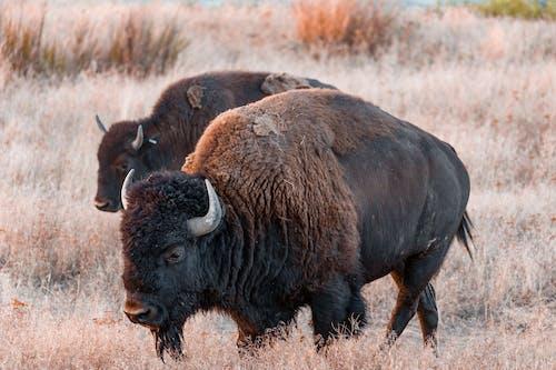 Brown Bison on Brown Grass Field