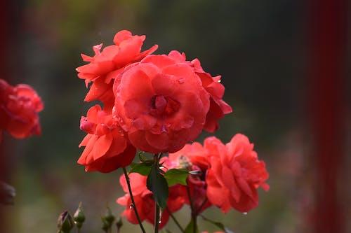 Free stock photo of botanical garden, garden roses, pink rose