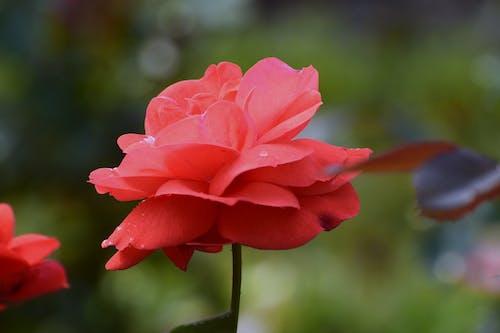 Free stock photo of garden roses, pink rose, pink roses