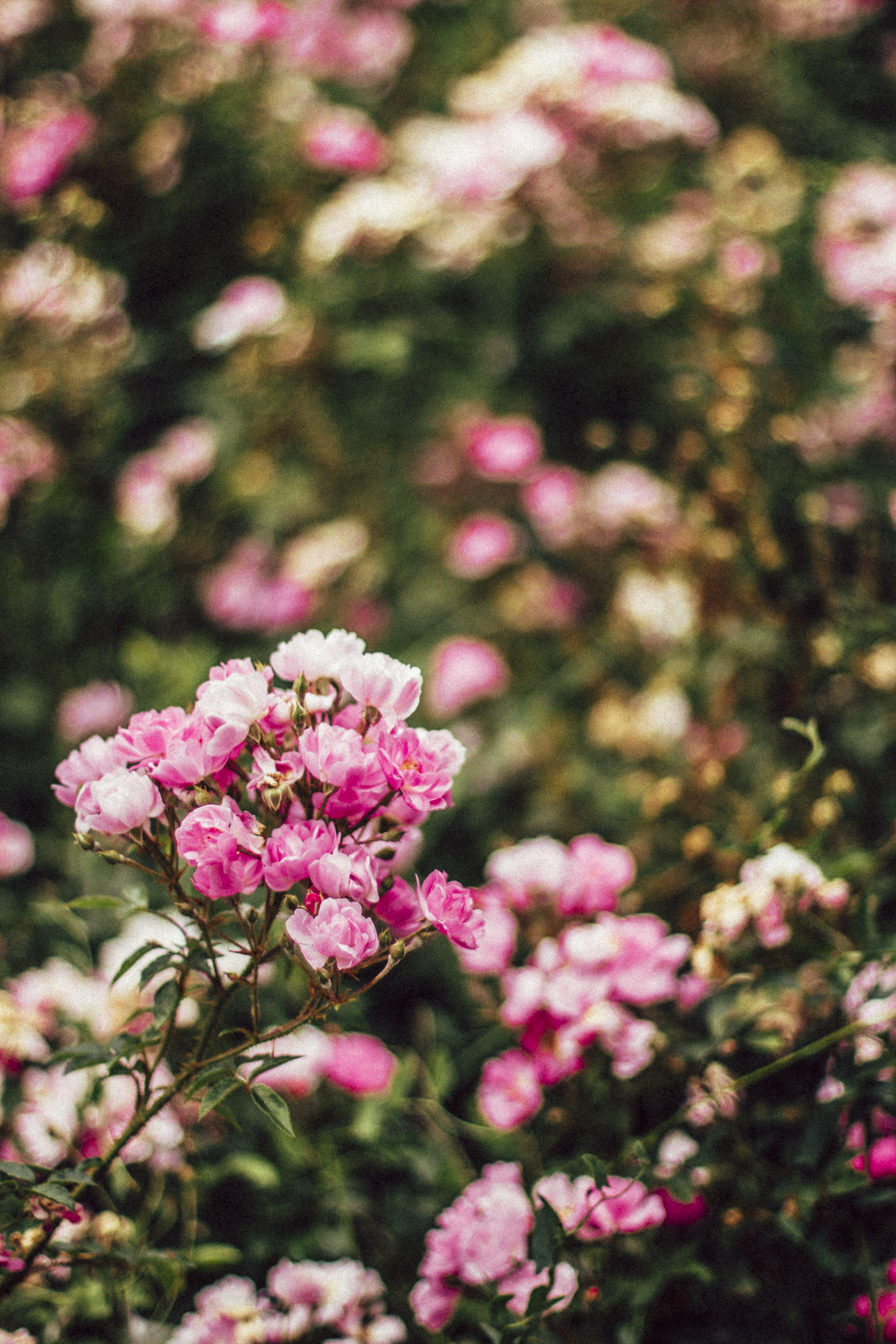 Pink Petaled Flower Tilt-shift Lens Photography