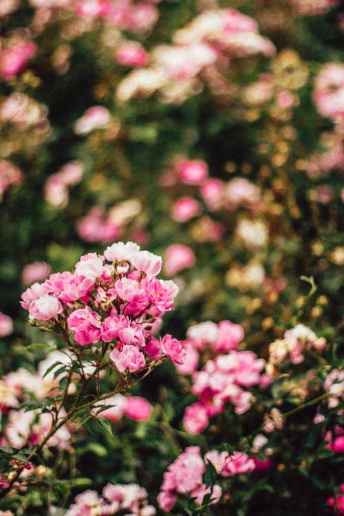 Pink Petaled Flower Tilt-shift Lens Photography