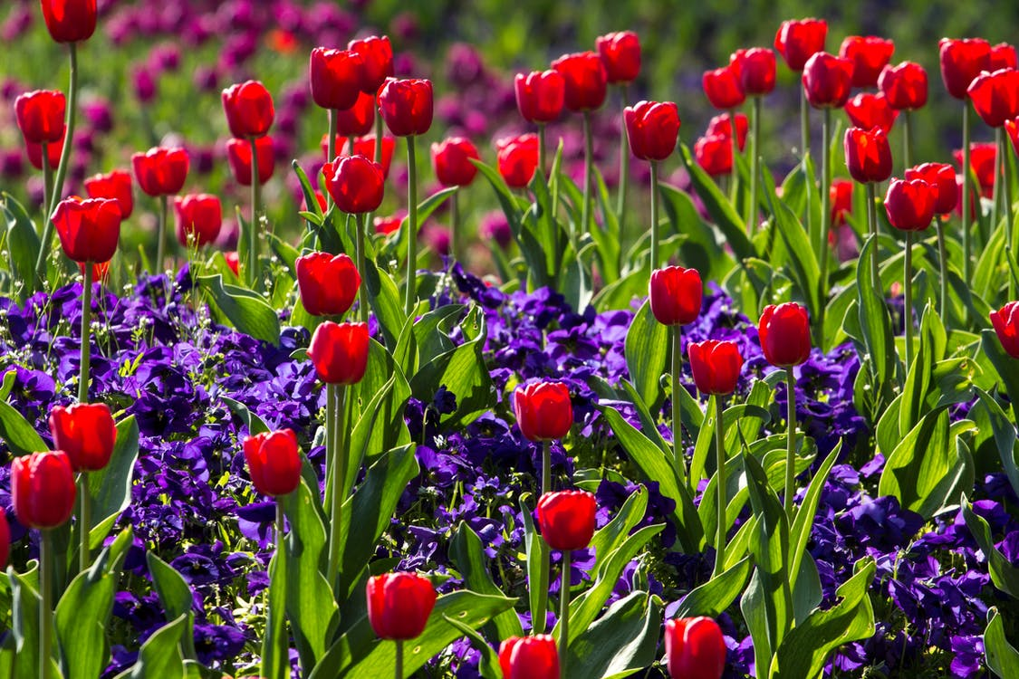 Tulips Flower With Green Leaves during Daytime