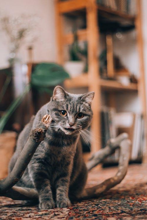 Kostenloses Stock Foto zu drinnen, felidae, flacher fokus, gefleckt