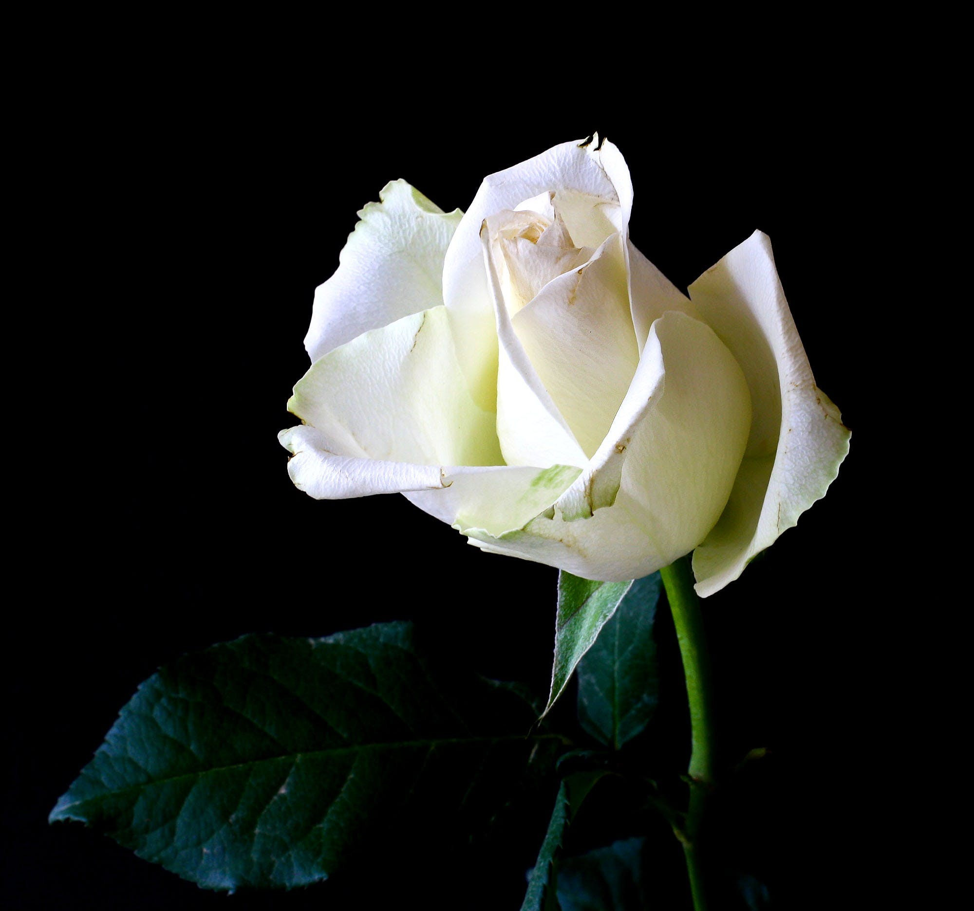 White Rose Against Black Background