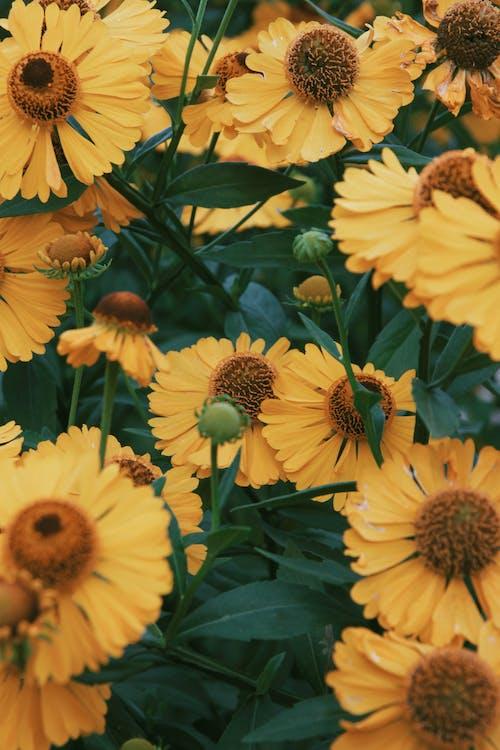 Immagine gratuita di bocciolo, fiori, flora, girasoli