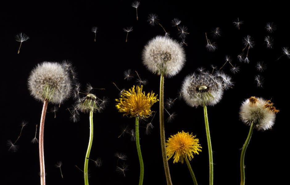 Pollen macro dandelion back light