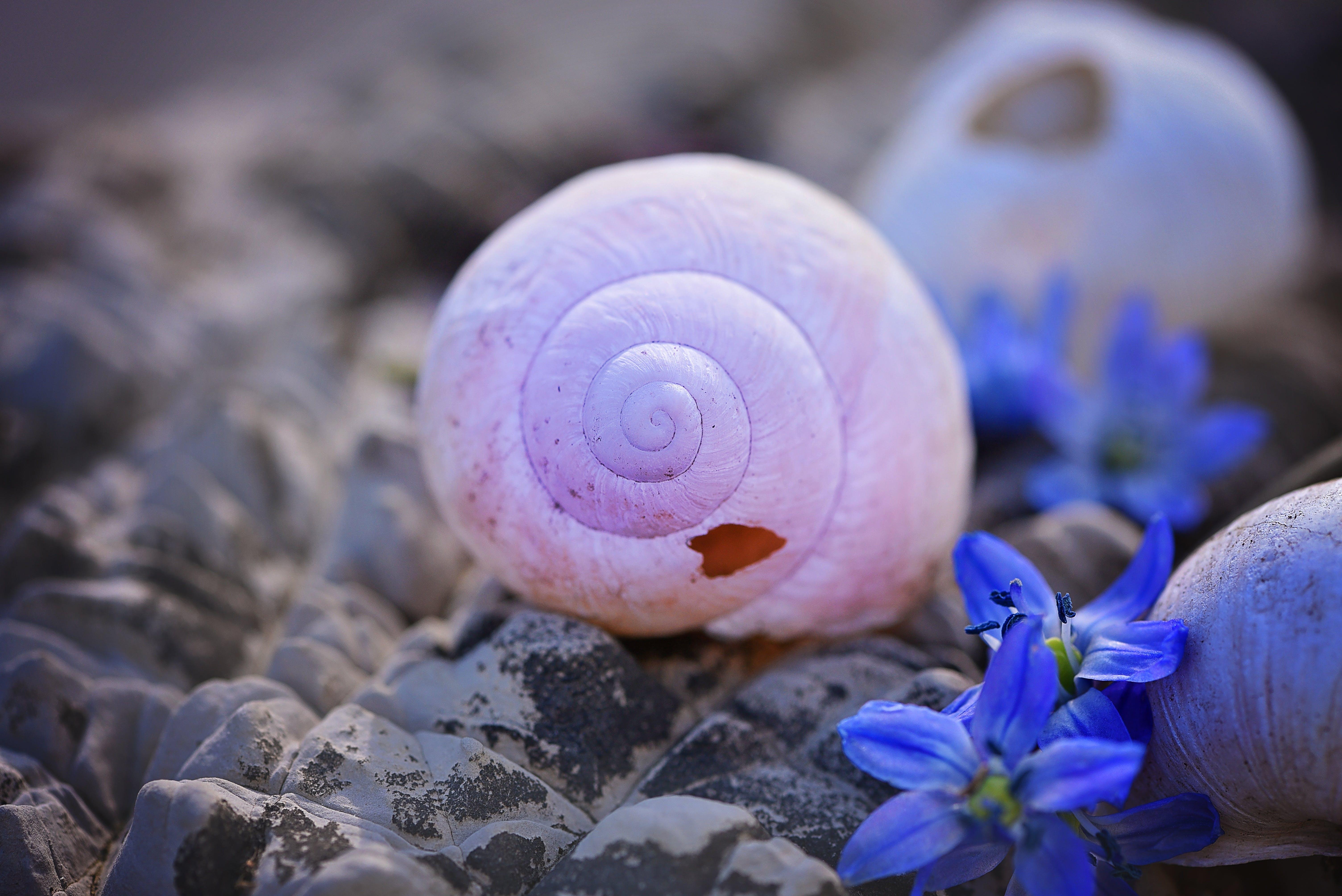 Δωρεάν στοκ φωτογραφιών με chionodoxa luciliae, αδειάζω, καβούκι, κατεστραμμένος