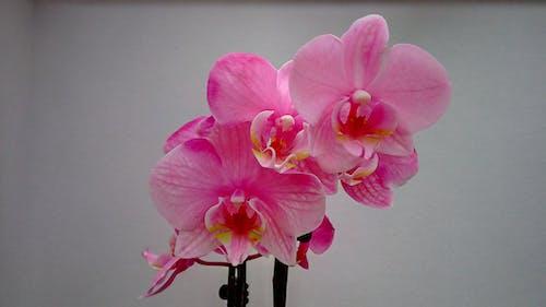 Free stock photo of beautiful flower, flower, flower wallpaper, orchid