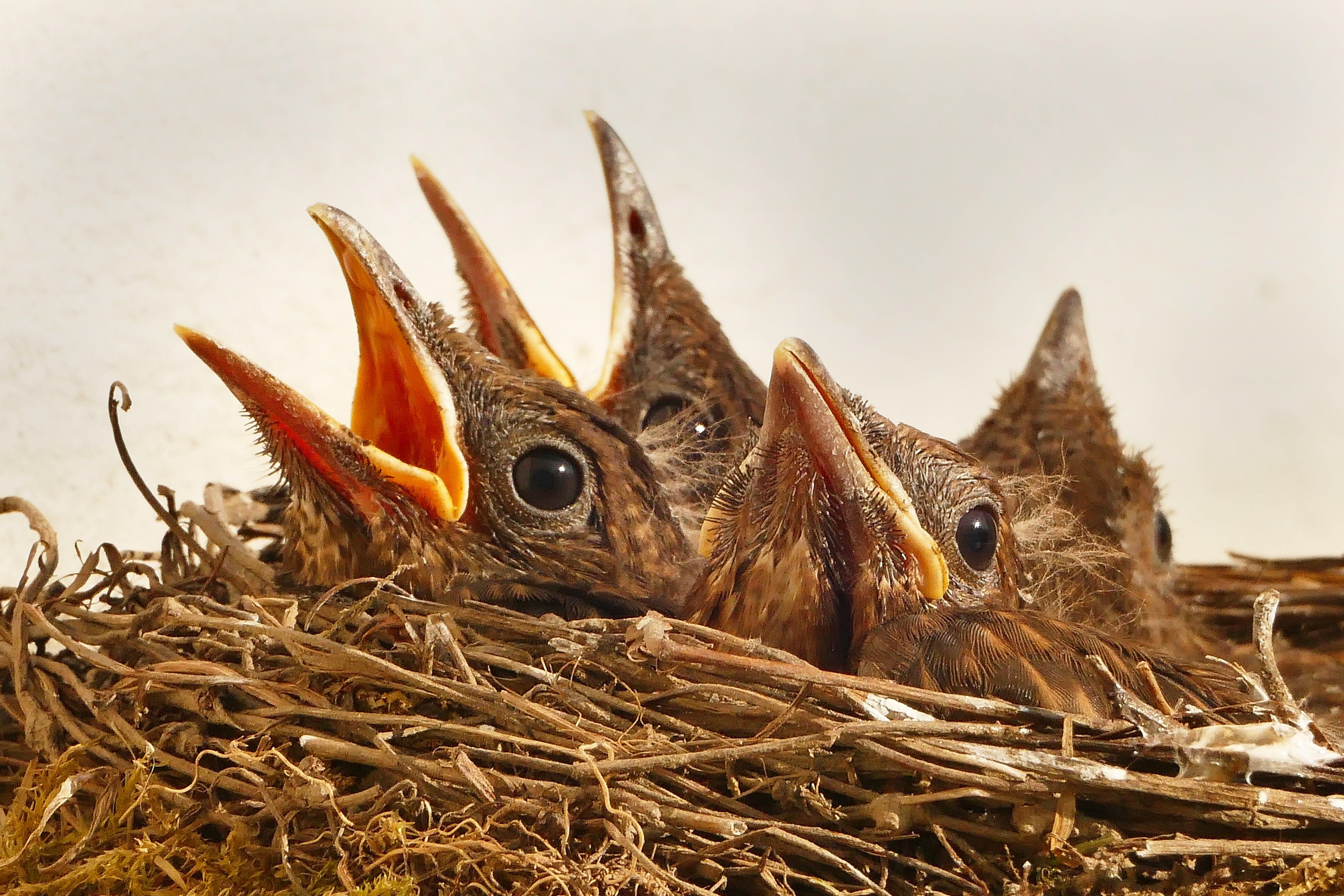 Free stock photo of nature, animal, birds, chicks