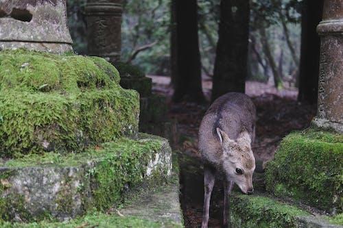 A Deer In Nara Park, Japan