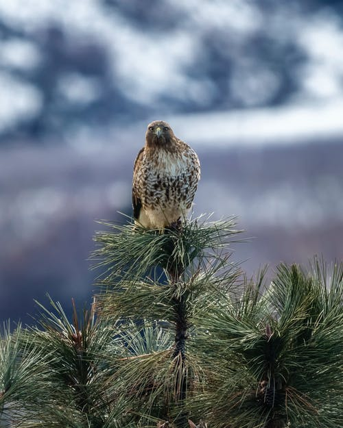Brown  Hawk On A Tree