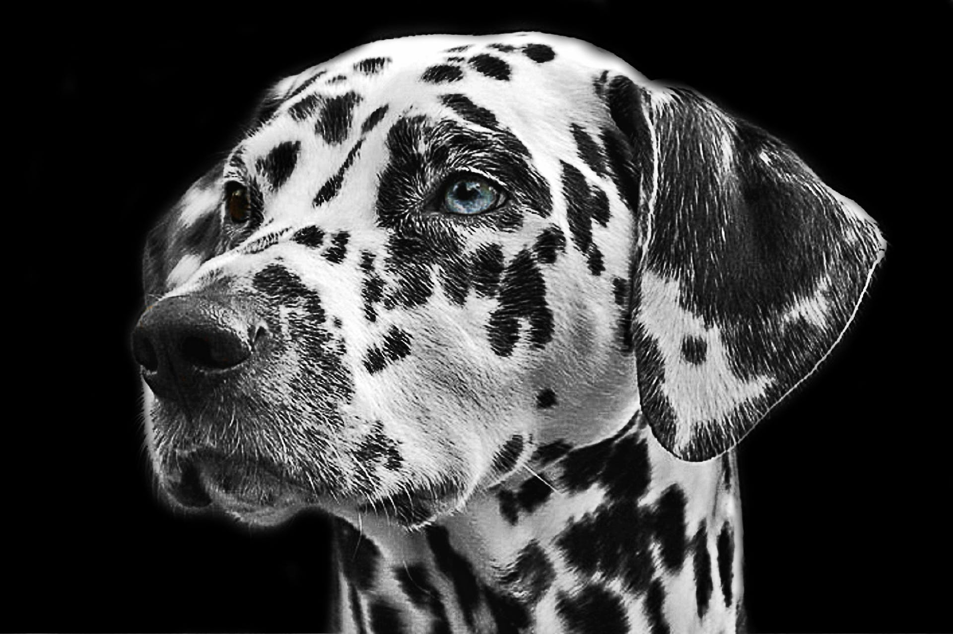 Adult Dalmatian Grayscale Photography