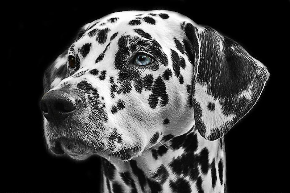 animal, dalmatian, dog