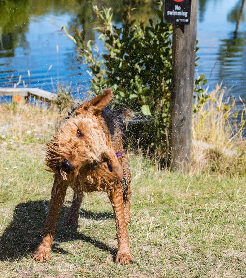 Free stock photo of airedale terrier, dog, lake, shaking water