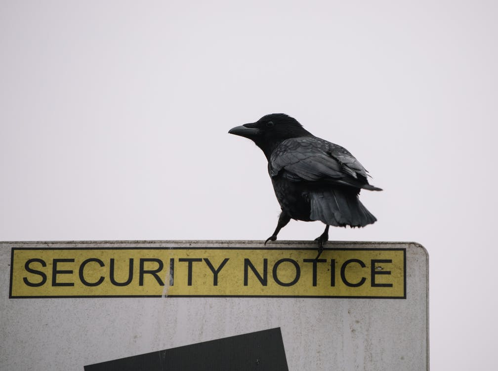 Low angle of wild black crow sitting on road security notice sign on gray background