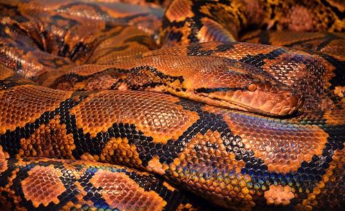 Kostnadsfri bild av djur, närbild, orm, python