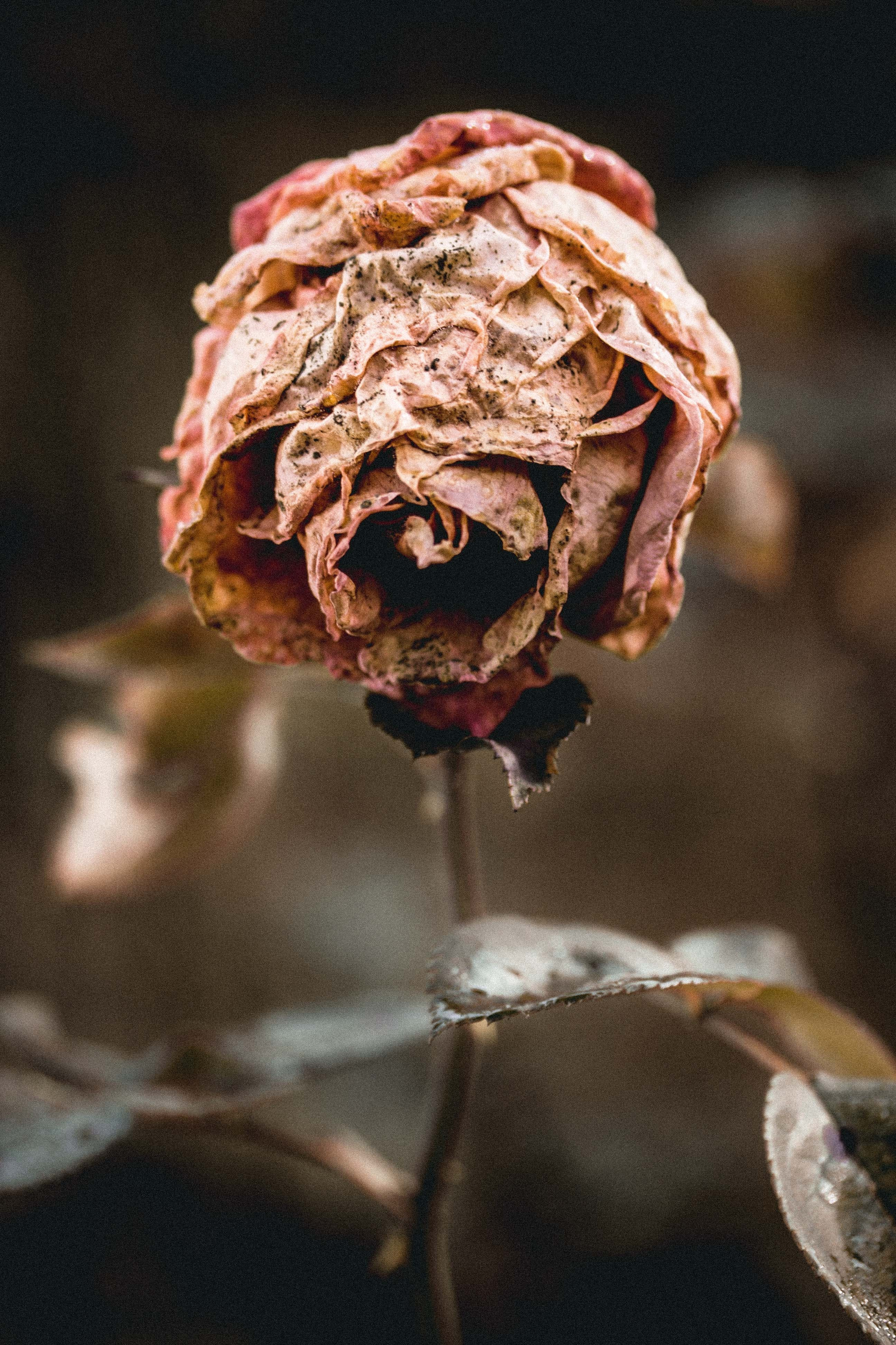 Brown Dried Rose Macro Photography
