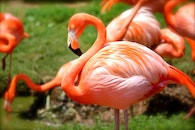 animal, birds, flamingos