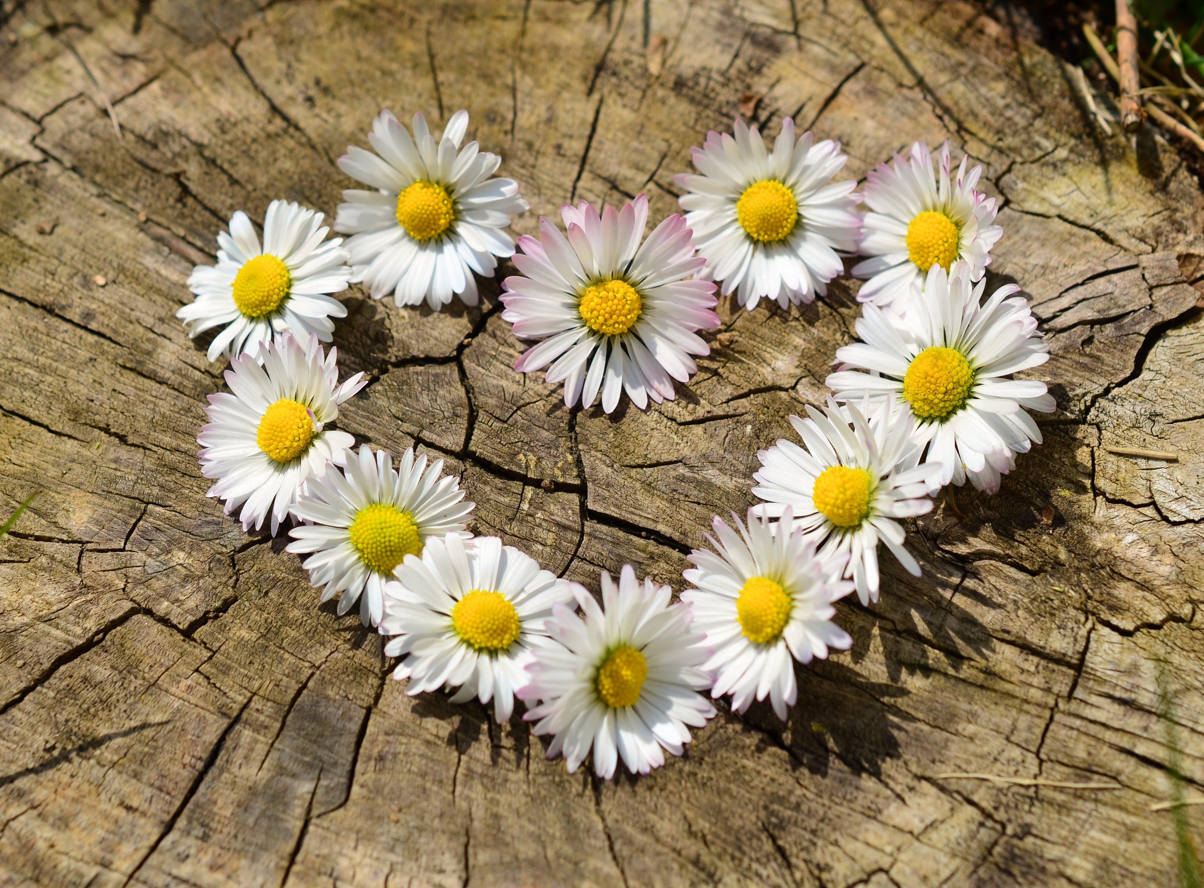 Foto d'estoc gratuïta de amor, cor, flors, margarides