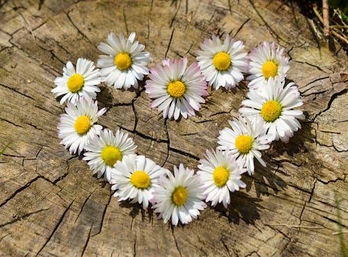 Imagine de stoc gratuită din dragoste, flori, formă de inimă, margarete