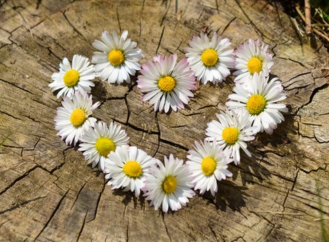 Free stock photo of love, heart, flowers, daisies